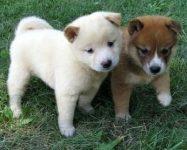 Adorabili cuccioli di shiba-inu femminucce e maschietti disponibili per l'adozione
