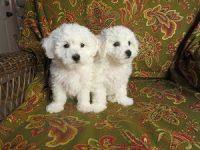 Bellissimi cuccioli registrati Bichon Frise