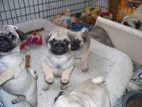 Cuccioli Carlino pronti per l'adozione