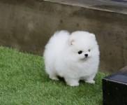 Pomerania cuccioli per l'adozione