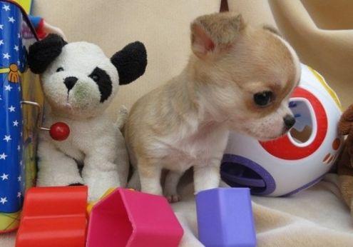 In Regalo Cuccioli Di Chihuahua Mini Toy Annunci Gratuiti