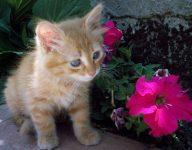 Regalo bellissima gattini di maine coon