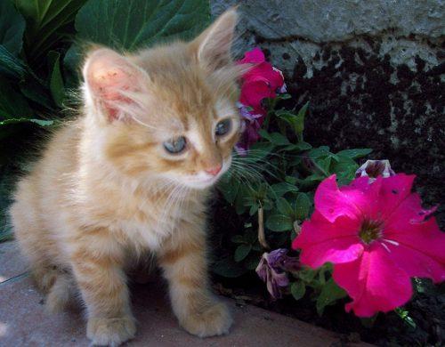 regalo bellissima gattini di maine coon annunci gratuiti