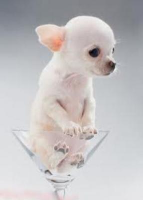 Regalo cuccioli di chihuahua toy annunci gratuiti for Regalo a chi