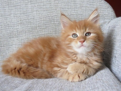 regalo stupendi gattini main coon disponibile annunci