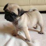 Cuccioli Carlino gratuiti per l'adozione !!!