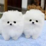 REGALO Dolci cuccioli Pomerania per l'adozione
